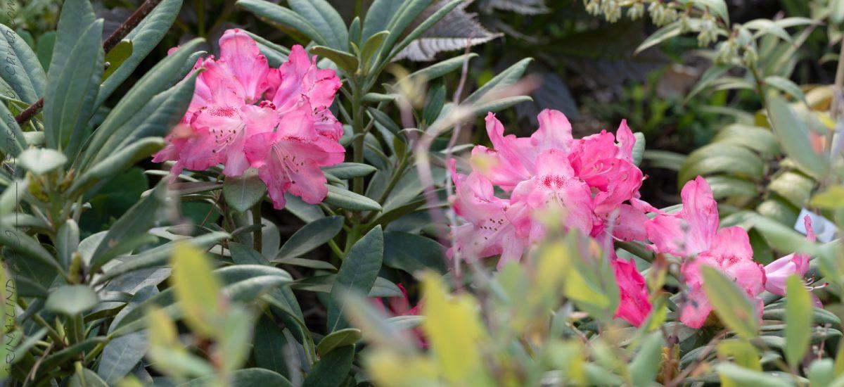 Yakushimanum-gruppen – underbara rododendron
