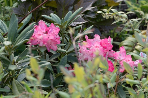 Rhododendron Yakushimanum-grp 'Sneezy'