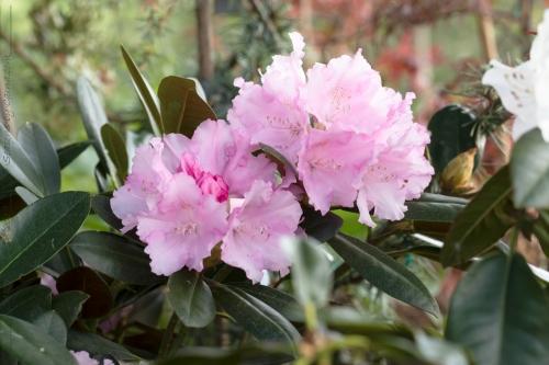 Rhododendron 'Ratibor'