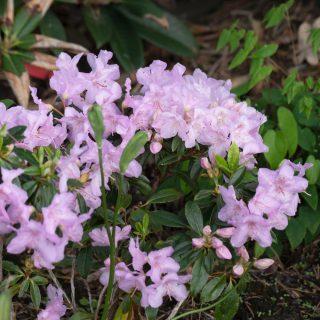 Rhododendron calostrotum 'Robert Seleger'