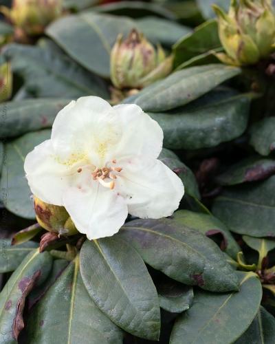 Rhododendron Wardii-grp 'Belkanto'
