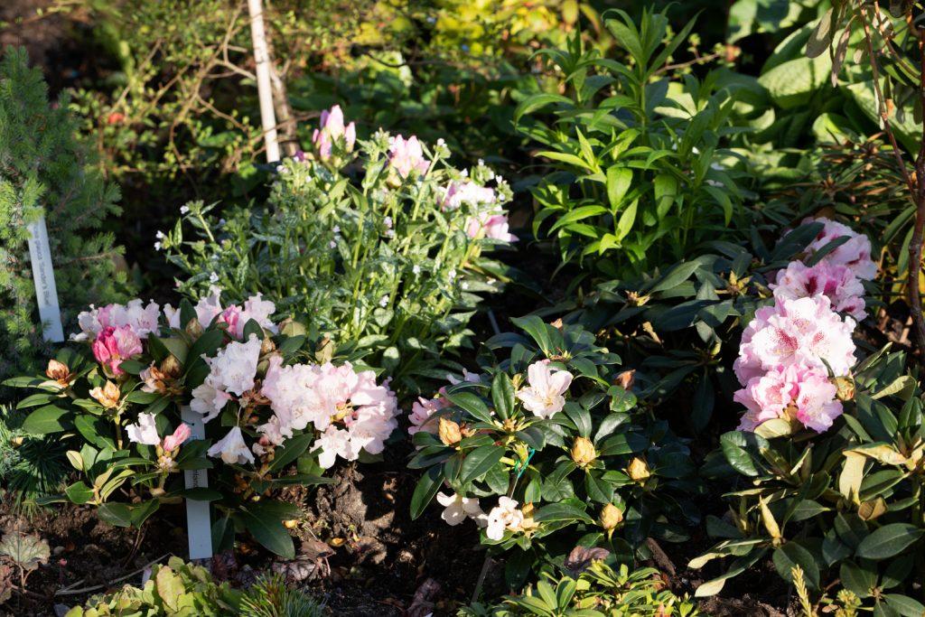 Rhododendrontider - blomning i rosa