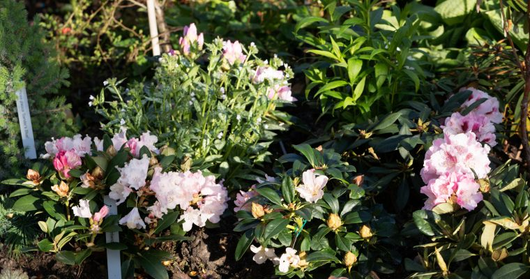 Rhododendrontider –  trädgårdens faser