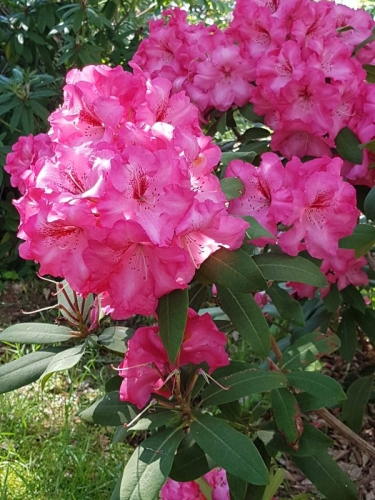 Rhododendron 'Charis'