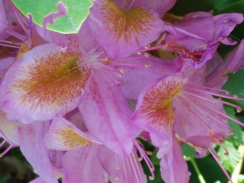 Namnlös rhododendron med sanslöst vacker fläck