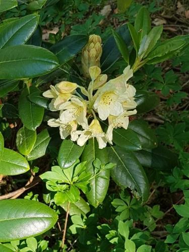 Gul namnlös rhododendron