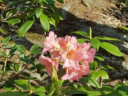 Rhododendron laxrosa