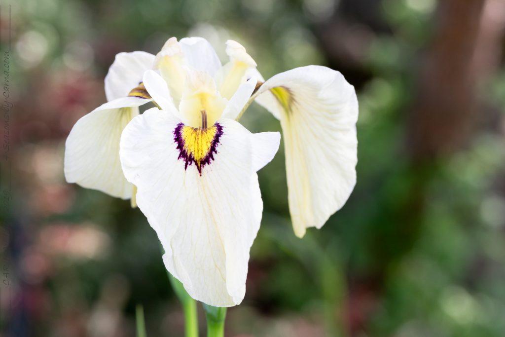 Sommardoft - Iris pseudata