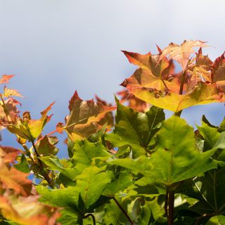 Solsidan Klotlönnen, Acer platanoides 'Globosum'