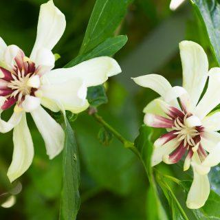 kryddbuske - Calycanthus 'Venus'