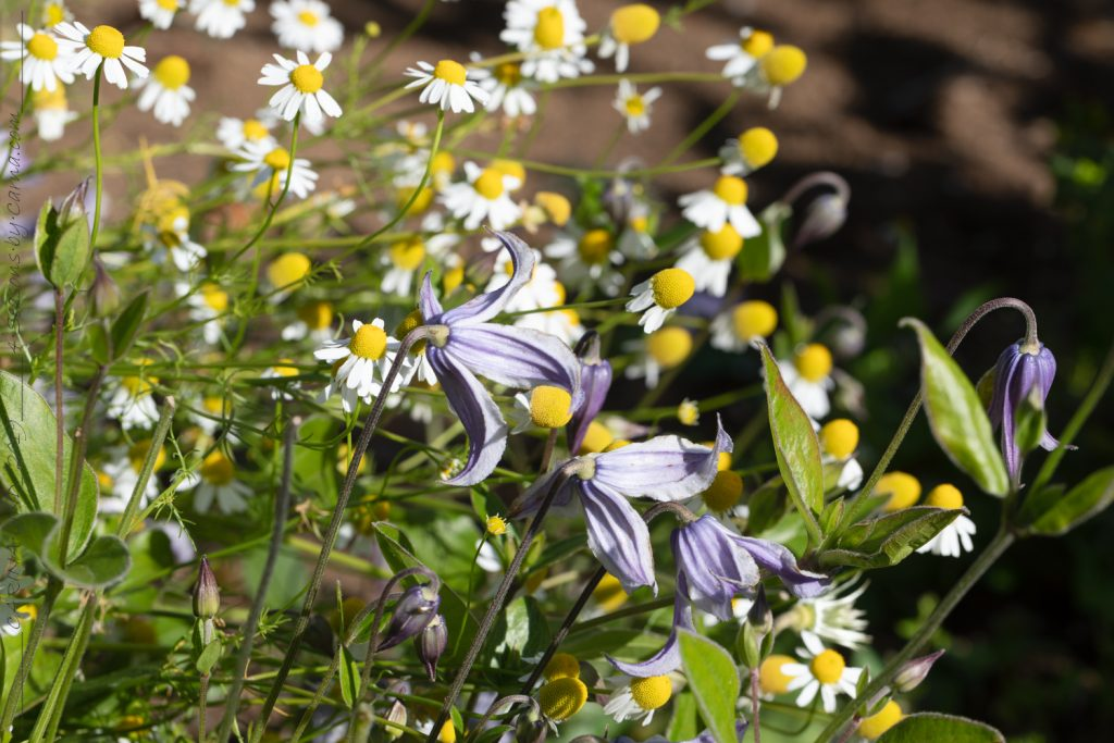 Solsidan - Clematis integrifolia seedling tillsammans med ogräs