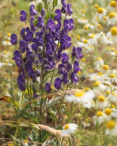 Aconitum napellus x vulgare - pyreneisk stormhatt