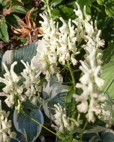 Aconitum orientale - orientstormhatt