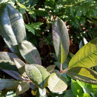 Rhododendronkorsningar - 'Gustav Mellquist' x R. macabeanum