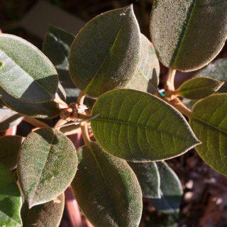 Rhododendron yak x bureavii