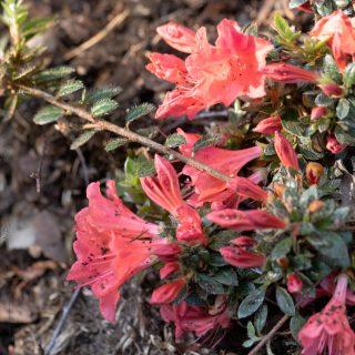 Rhododendron 'Mariko'
