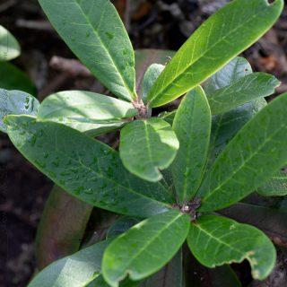 Rhododendron uvarifolium