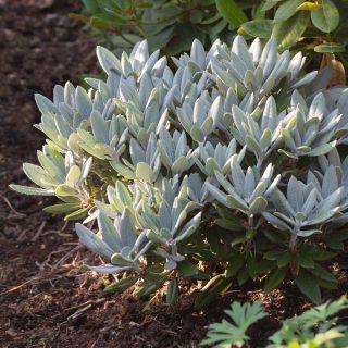 Rhododendron Yakushimanum-grp 'Golfer'