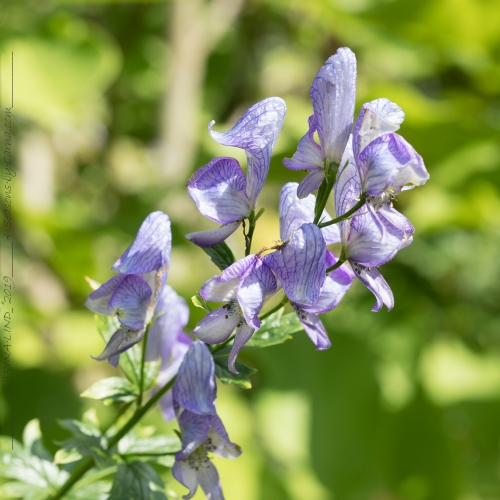 Aconitum paniculigerum - blåvit stormhatt
