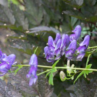 Aconitum sczukinii