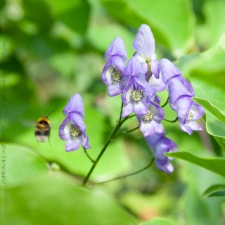 Stormhattar - Aconitum paniculigerum - blåvit stormhatt