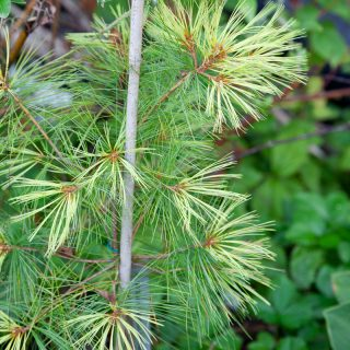 Pinus strobus 'Golden Showers'
