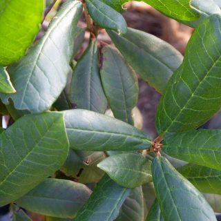 Rhododendron fulvum ssp. fulvoides ACU Berry x R fulvum ssp fulvoides JN