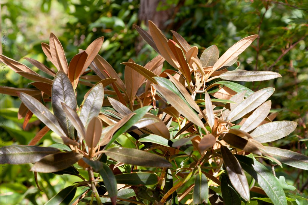 Rhododendron elegantulum - elegantrododendron