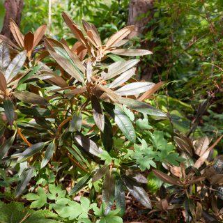 Indument - Rhododendron elegantulum - elegantrododendron