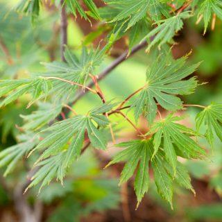 Acer palmatum 'Green Trompenburg'