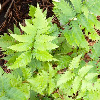 Dryopteris goldieana - amerikanskt träjon