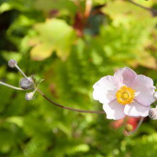 Anemone hupehensis - höstanemon