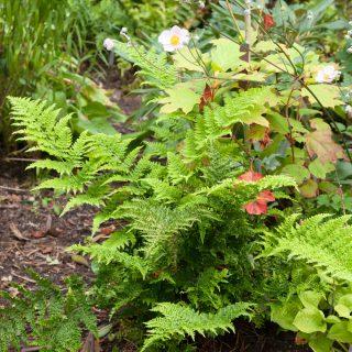 Dryopteris dilatata 'Crispa Whiteside' - lundbräken