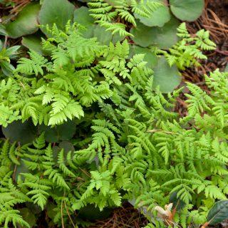 Gymnocarpium dryopteris - ekbräken