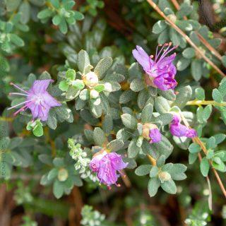 Rhododendron lapponicum-grp 'Purple Pillow'