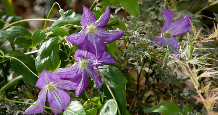 Blå blomning och frasiga ormbunkar
