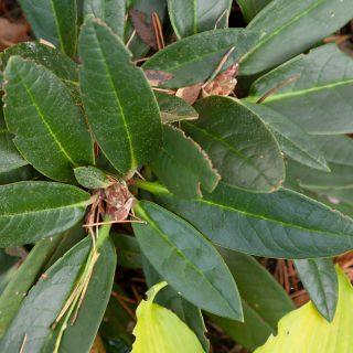 Rhododendron russotinctum x rex