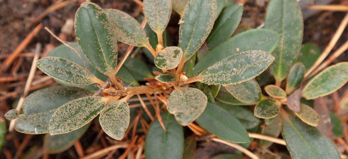 Rhododendronkorsningar unika och vackra