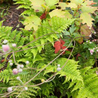 Ingen blå blomning men... Dryopteris dilatata 'Crispa Whiteside' - lundbräken