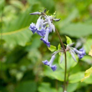 Blå blomning - Clematis tubulosa 'Cassandra' - hyacintklematis