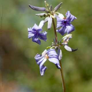 Clematis tubulosa 'Cassandra' - hyacintklematis