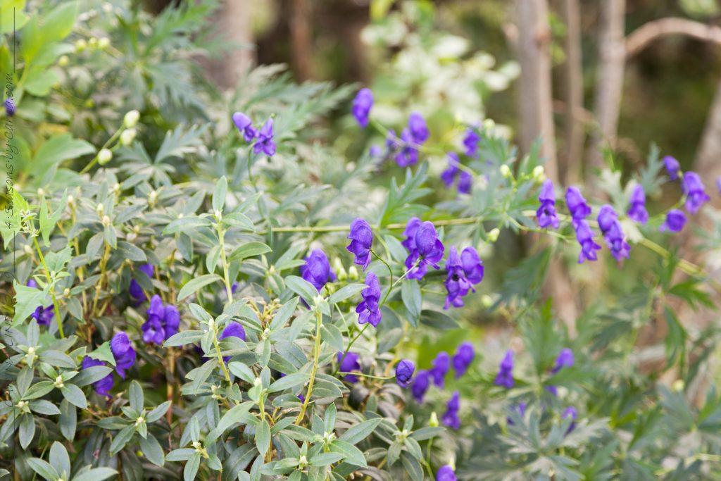 Mormorsväxterna - Aconitum x cammarum - trädgårdsstormhatt