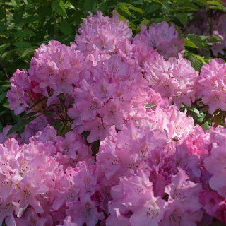 Rhododendron yakushimanum-grp 'Pink Cherub'