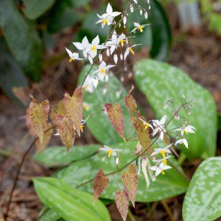 Sockblomma - Epimedium stellulatum 'Long Leaf Form' Cc 970051