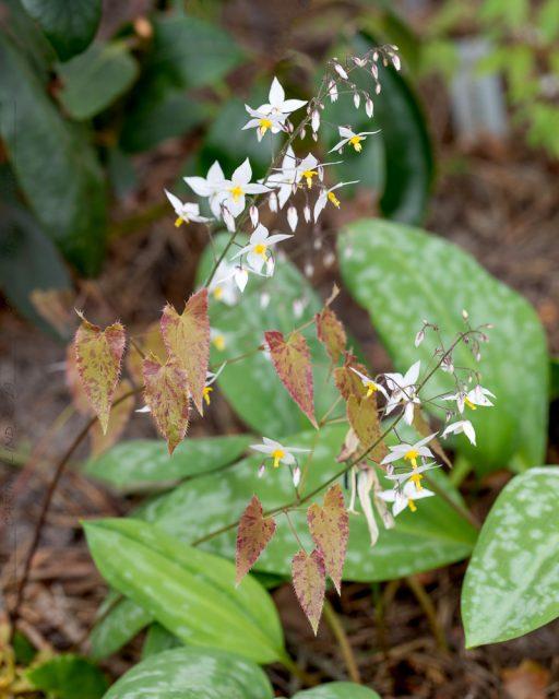 Epimedium stellulatum 'Long Leaf Form'