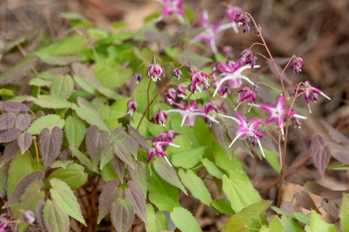 Epimedium 'Dark Beauty'