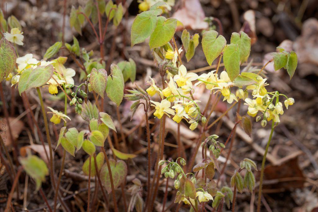 Epimedium x versicolor - sockblomma