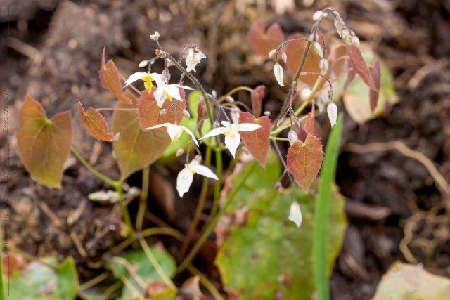 Nya sockblommor - Epimedium stellulatum 'Wudang Star'