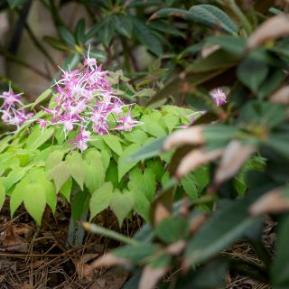 Sockblomma, Epimedium 'Dark Beauty'