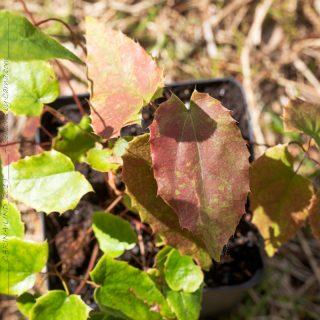 Epimedium pubescens Shanxii Forms
